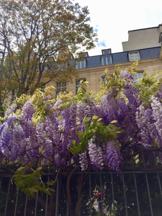 Wisteria are in bloom at the moment- so pretty!